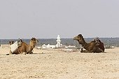 Dromedaries lying face one another in Douz Tunisia