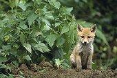 Fox Cub watching near the burrow entry Jura
