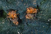 Common yellow dung flys mating