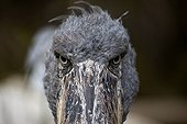 Face-to-face with a Shoebill Singapore Borneo