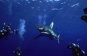 Oceanic whitetip shark swimming and divers Egypt