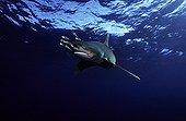 Oceanic whitetip shark swimming and pilot fishes Egypt