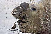 Old male Elephant seal and passeriforme in Falkland Islands