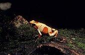 Dendrobate rouge et jaune sur tronc moussu Colombie