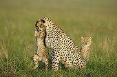 Tenderness & play between young Cheetah and mother Kenya