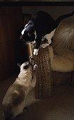 Cats scratching a cardboard armchair