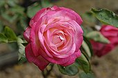 Rose 'New Style' in a garden