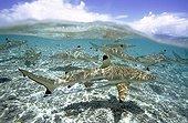 Blacktip Reef Sharks Tuamotu French Polynesia