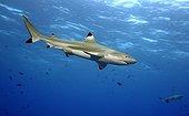 Blacktip Reef Sharks Moorea French Polynesia