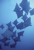 Spotted Eagle Rays Tuamotu French Polynesia