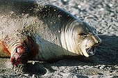 Southern elephant seal with flipper amputated by Orc Crozet