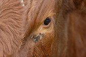 Regard d'une vache Rouge des prés à Valmont France