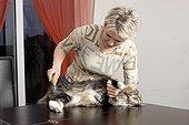 Brossage d'un chat Maine Coon à poils mi-long ; Robe : Brown Blotched Tabby et Blanc