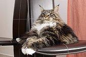 Chat Maine Coon à poils mi-long couché sur une chaise ; Robe : Brown Blotched Tabby et Blanc