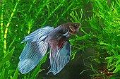 Poisson combatant du Siam Aquarium d'eau douce tropicale