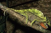 Crested Chameleon in intimidation posture Korup NP Cameroon ; Region: South-Western Cameroon<br>Cameleon displaying a red throat to scare predators away