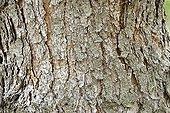 Bark of Jeffrey Pine ; Native to the western USA.
