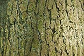 Bark of European alder