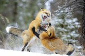 Male Red foxes fighting during rut period Rocky Mountains