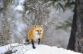 Male Red fox during rut period Rocky Mountains
