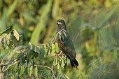 Slender-billed Kite Pantanal Mato Grosso Brazil