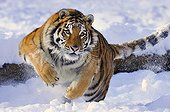 Siberian Tiger running in the snow