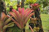 Bromeliads in the Jardin de Balata in Martinique Island