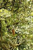 Canopée dans la forêt primaire de Monteverde Costa Rica