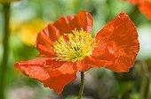 Iceland Poppy 'Wonderland' in a garden