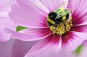 Bumble Bee gathering nectar in Cosmos flower Limousin France