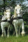 Percheron droughts used to work in the fields Alsace