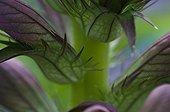 Acanthus close up