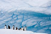 Gentoo Penguins on an iceberg Antarctica ; Paradise Bay.