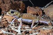 Common knob-tailed gecko Australia