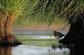 Bécassine des marais cachée sous la végétation