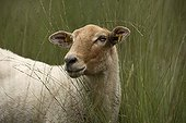 Portrait of  Kempen Heath Sheep Netherlands