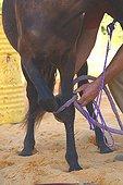 Dressage d'un cheval de selle France