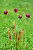 Purple pitcherplant flowers and trap-urns Carnivorous plant