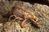 Yellow Scorpion stinging a locust France