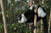 Black-and-white ruffed lemur Madagascar