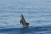 Melon headed whale jumping