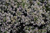 Thym en fleurs Provence France