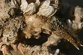 Spiny squat lobster rostrum covered with barnacles France