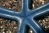 Blue linckia sea star on sand Indonesia