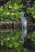 Tricoloured heron and its reflection in water French Guiana