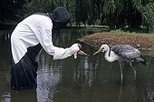 Wattled Crane fed by puppet to avoid imprinting by humans ; Site : The Haven Waterfowl Trust<br>Year : 2002