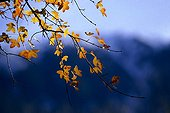 Leaves of a Maple tree in autumn Andorra