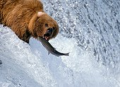 Grizzly Bear fishing a Salmon in a waterfall Alaska USA