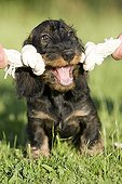 Master stimulating his Wire-haired Dachshund puppy with toy ; Toy : Rope Knots toy