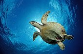 Hawksbill turtle swimming towards below the Maldives